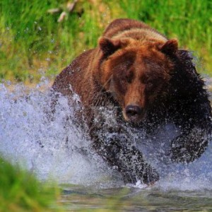 bear charges group of tourists, Alaska, bear attack, grizzly