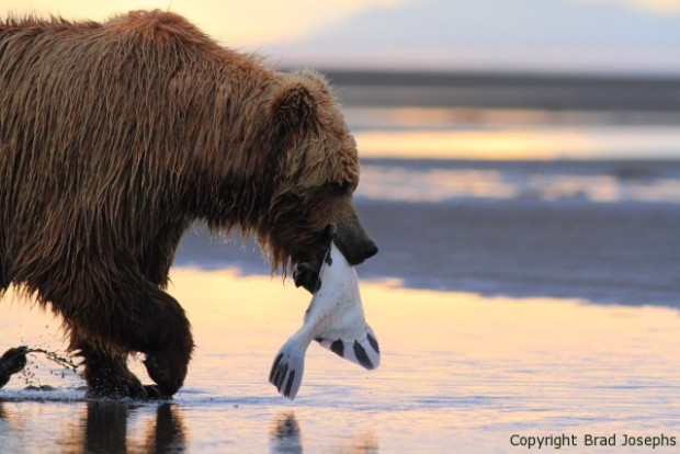 Grizzly brings a flounder to the beach, brad josephs image of bears, alaska
