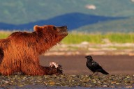 grizzly and raven, art, images, pictures, photos
