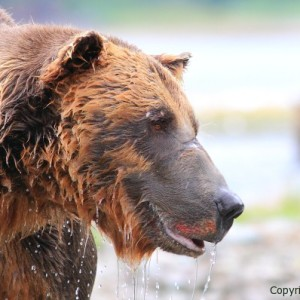 giant male grizzly