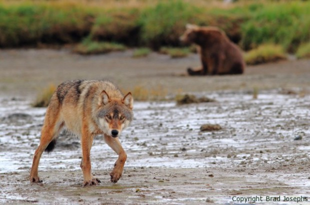 image of bear and wolf together, alaska, picture, photo, grizzly bear and wolf, brad josephs