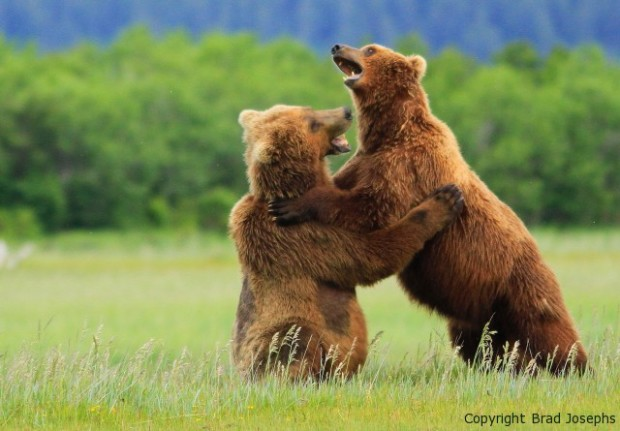 picture, photo of fighting bears
