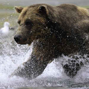great bear stakeout, discovery, bbc, image, brad josephs