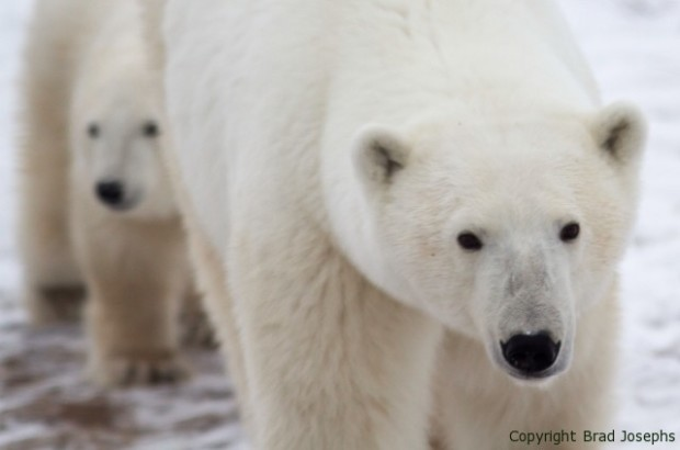 picture, image, photo of mother polar bear and cub, churchill manitoba, 2013