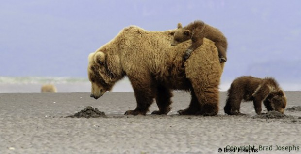 mother bear picture, grizzly mother image
