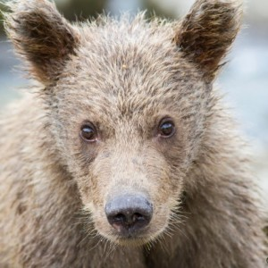 grizzly cub very close, kaflia bay, katmai