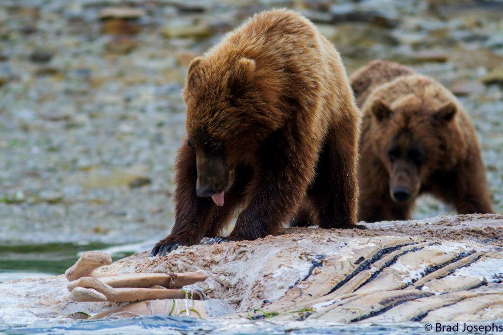marine mammal die off, dead fin whales, whale die off, grizzly bears