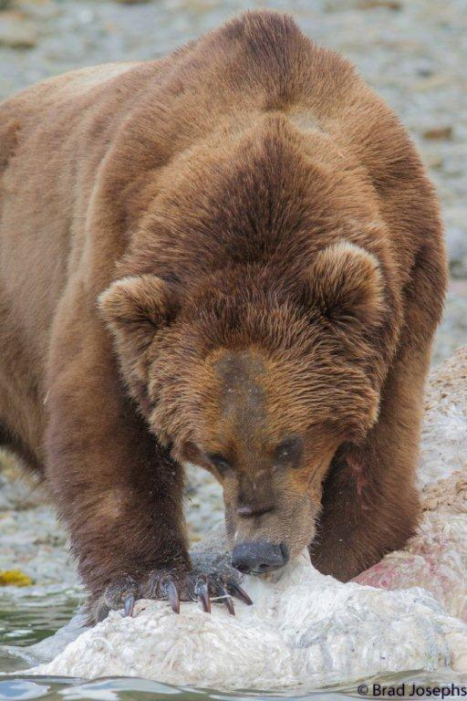 marine mammal die off, dead fin whales, whale die off, grizzly bear eating