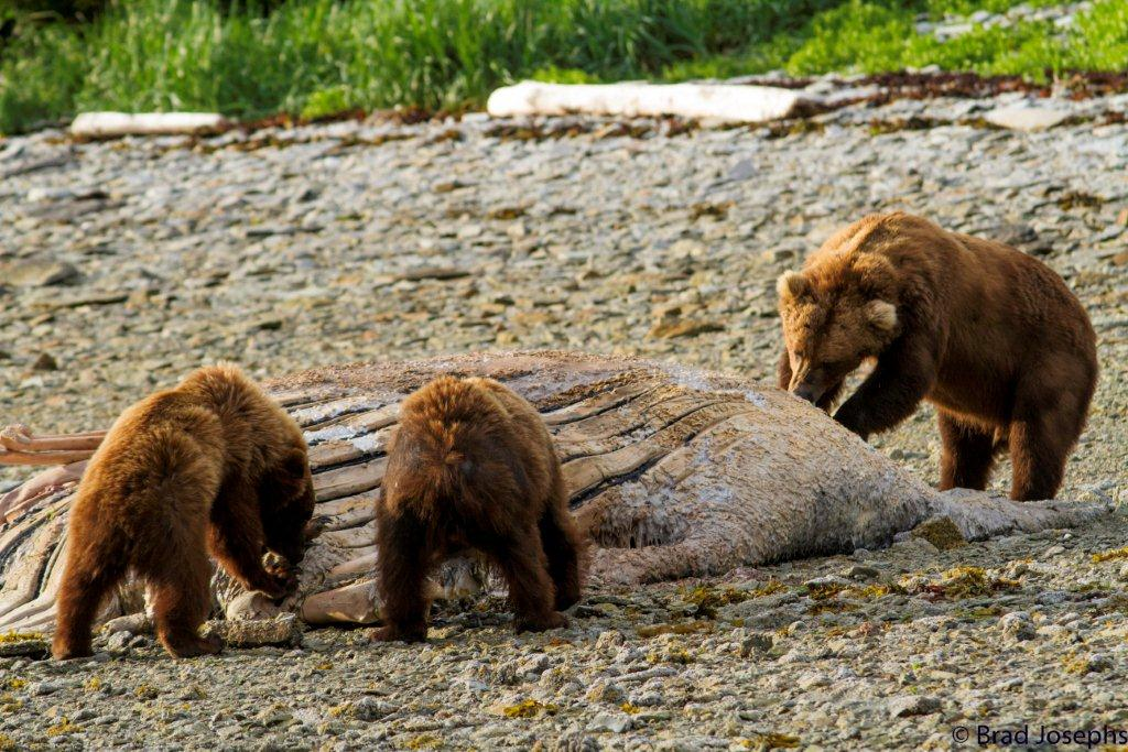 three grizzly bears eating whale carcass, marine mammal die off, dead fin whales, whale die off