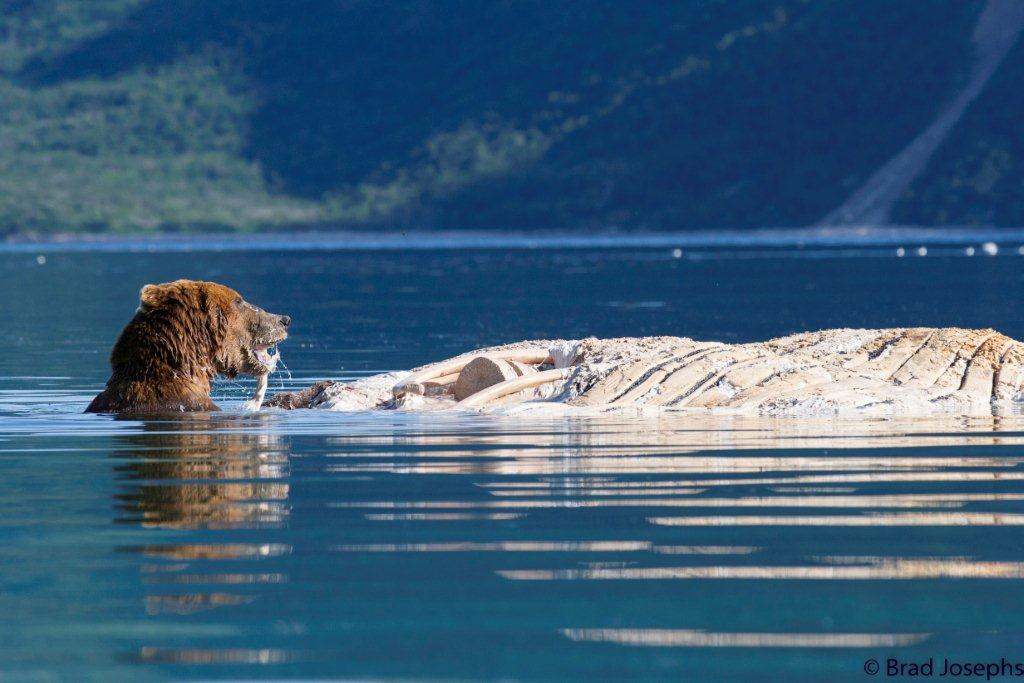 grizzly bear swimming with whale carcass, marine mammal die off, dead fin whales, whale die off