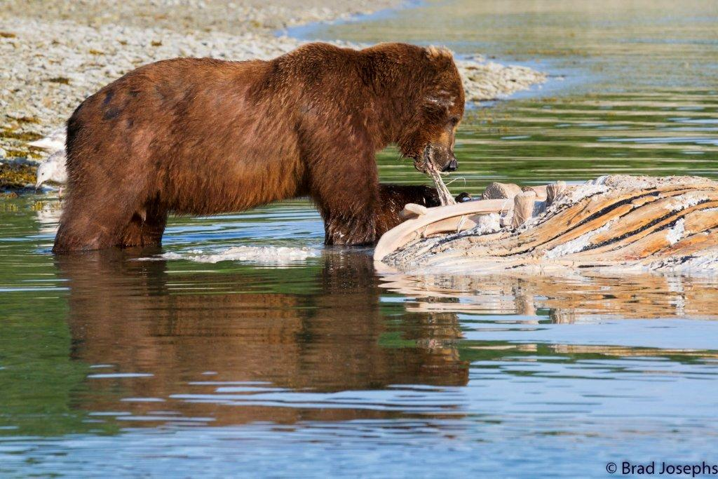 grizzly bear tearing whale carcass, marine mammal die off, dead fin whales, whale die off