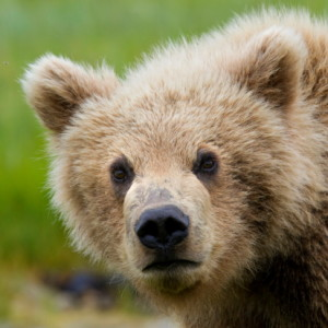 brad josephs image, bears, grizzlies, brown bears, alaska, bear viewing, natural habitat adventures