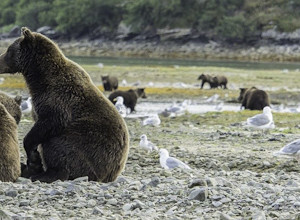 drew hamilton image, photo, grizzlies, brown bears, alaska