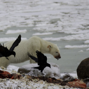 ravens, polar bear, seal image