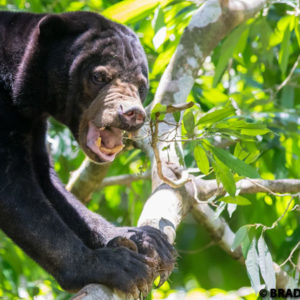 picture of sunbear, sun bear, Helarctos malayanus