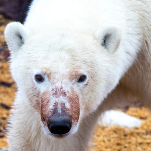 churchill polar bear portrait