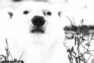 a black and white image of a polar bear, portrait