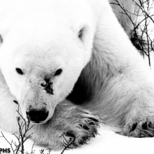 black and white polar bear image