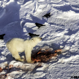 polar bear eating seal churchill manitoba