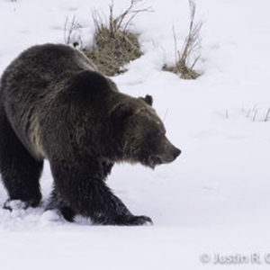 grizzly yellowstone, grizzly in the snow