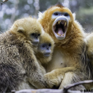 xian travel, image of golden monkey